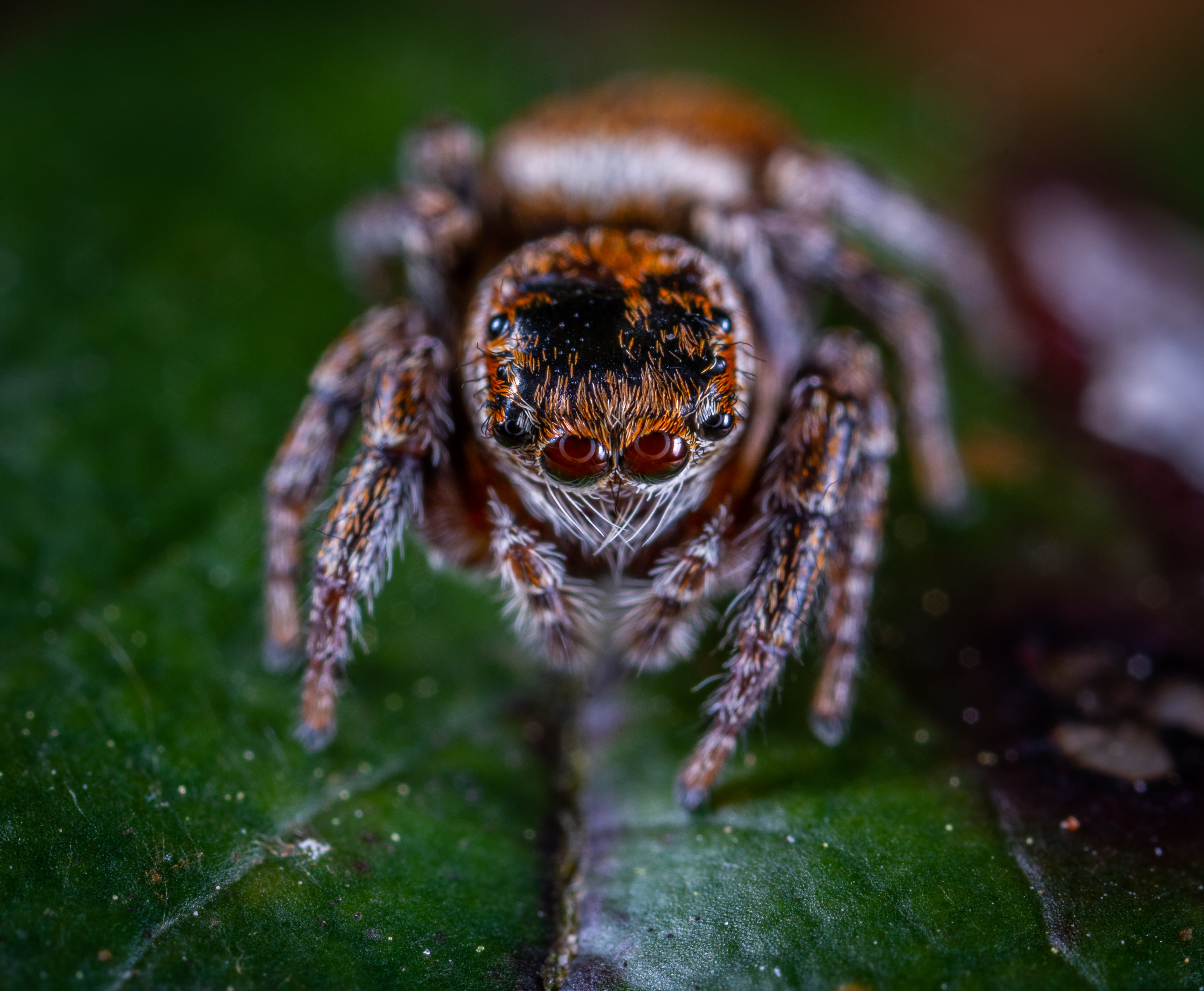 Macro Photography of Brown Jumping Spider Perched on Green Leaf