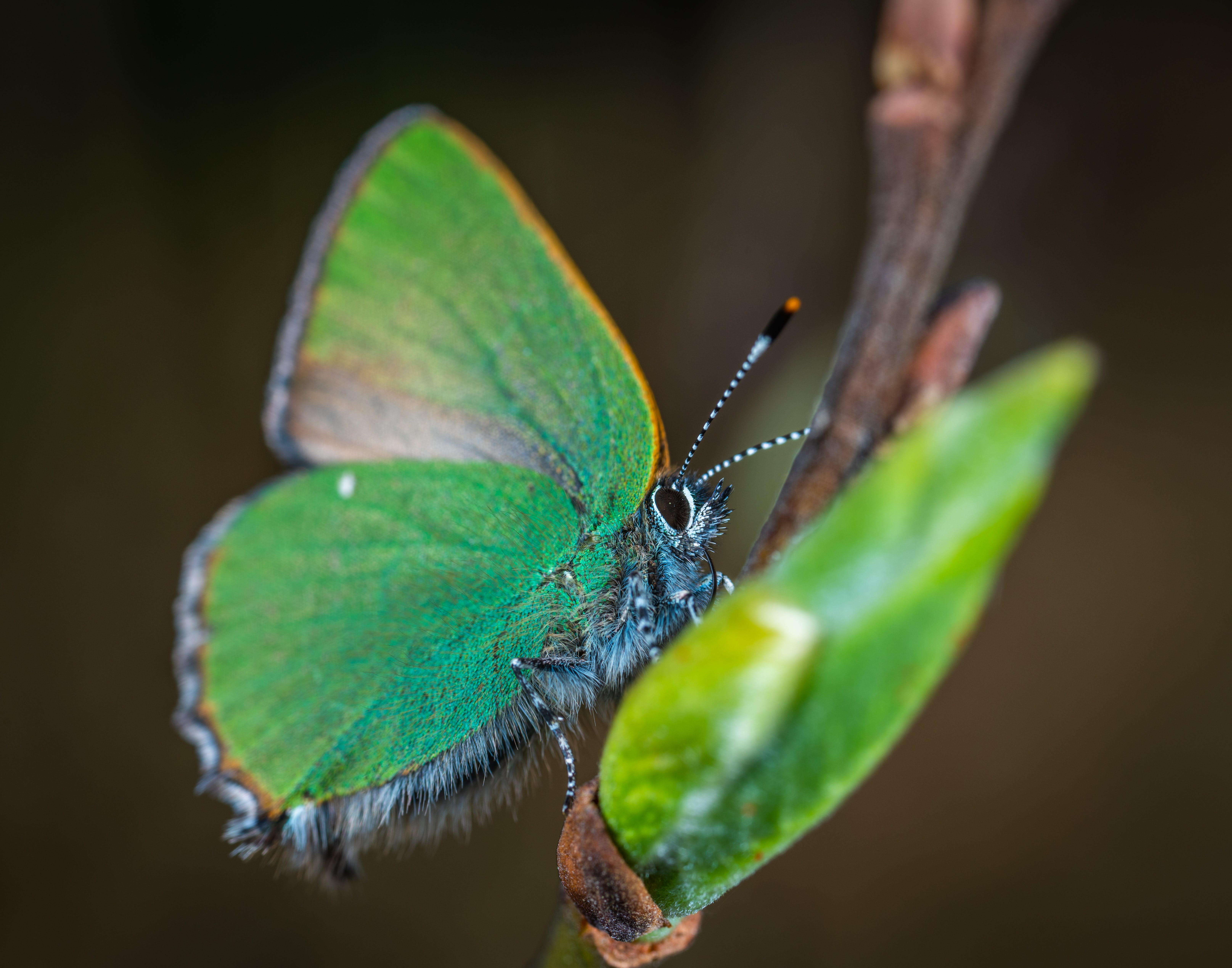 Cloudless Sulphur Butterfly Perched on Brown Plant Stem