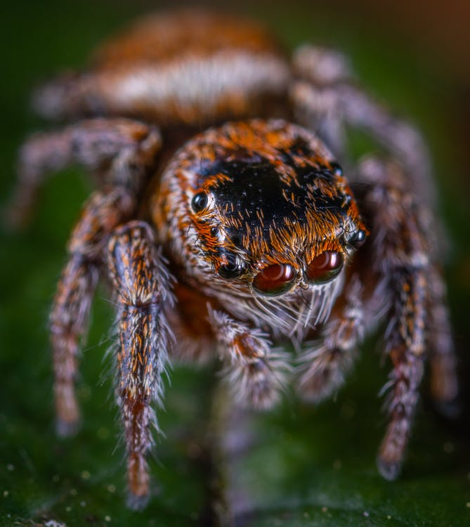 Macro Photo of Brown Jumping Spider on Green Leaf