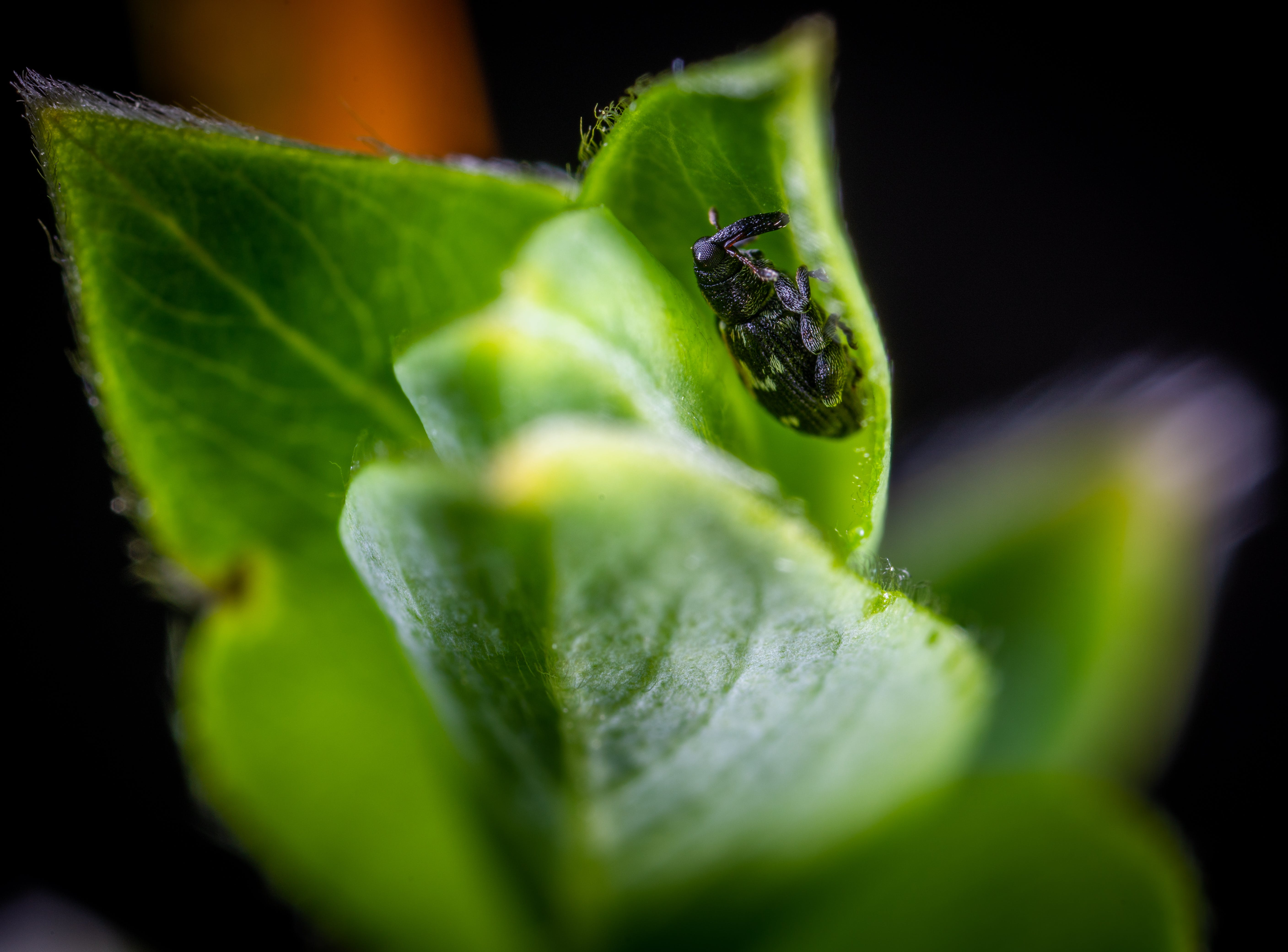 Macro Photo of Black and White Weevil on Green Leaf Plant