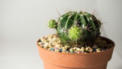 Gratis arkivbilde med blomsterpotte, kaktus, kaktusplante, liten