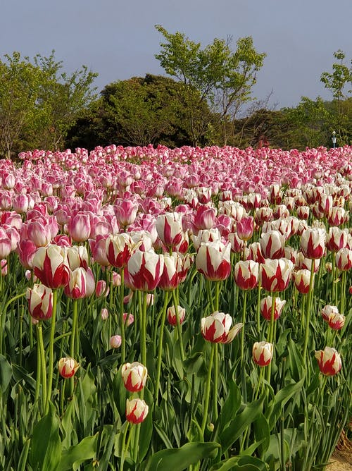 Foto d'estoc gratuïta de camp de flors, flor, flor de jardí, flors