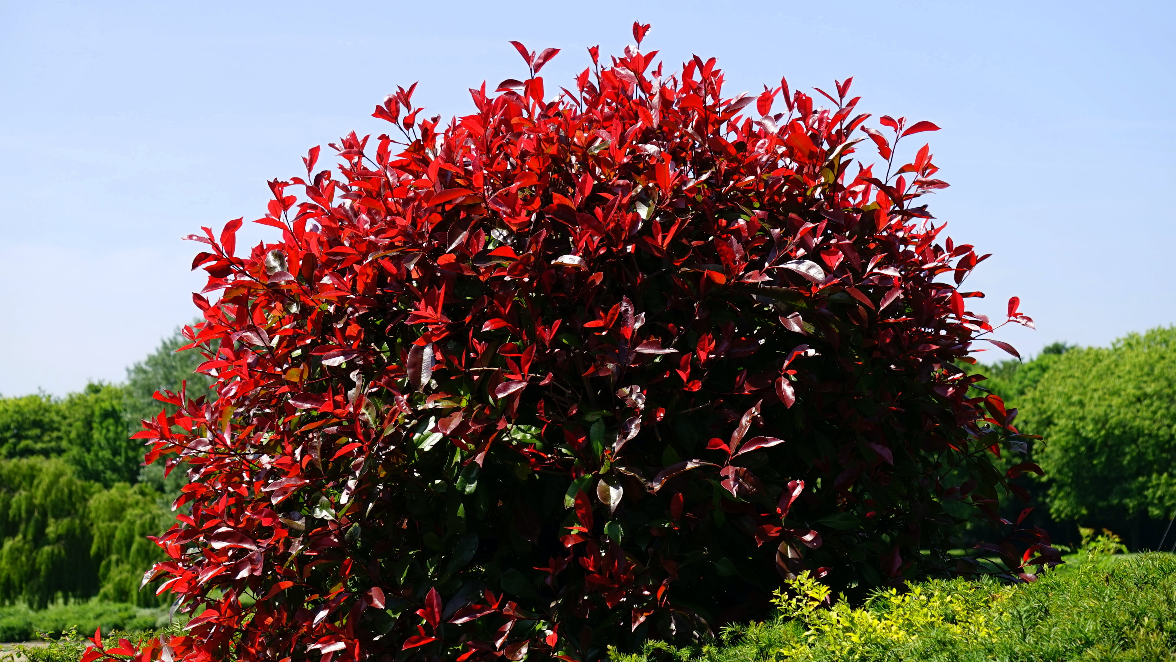 Red Leafed Plant Surrounded With Trees