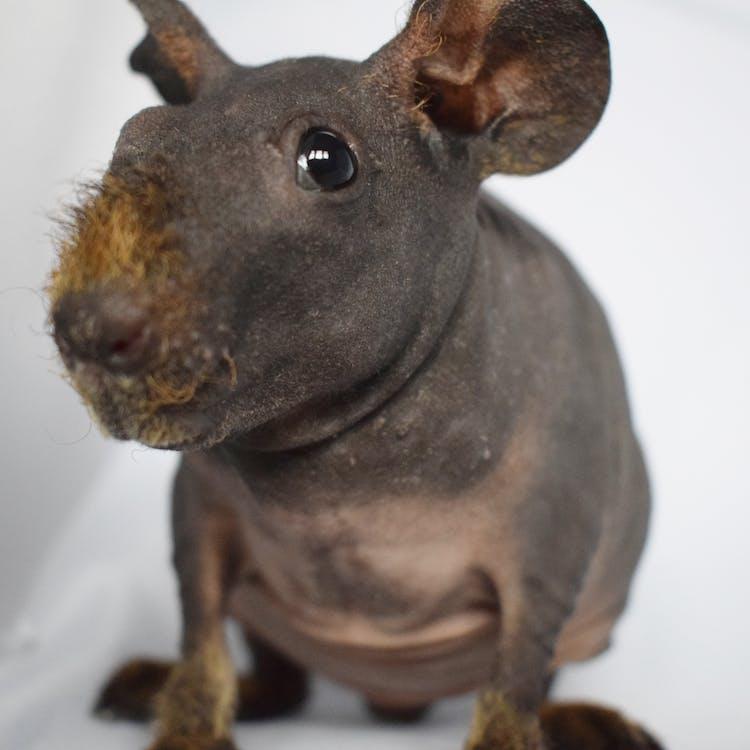 기니피그, 동물, 동물 사진의 무료 스톡 사진