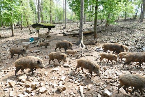 Imagine de stoc gratuită din animale, animale sălbatice, fotografie de animale, mistreț