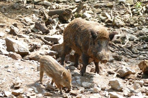 Imagine de stoc gratuită din animal, Belgia, domaine, fotografie de animale