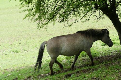 Imagine de stoc gratuită din animal, calul przewalski, domaine han, fotografie de animale