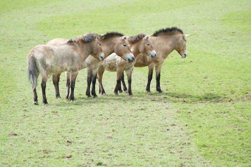 Imagine de stoc gratuită din ardennes, Belgia, cai de grup, calul przewalski
