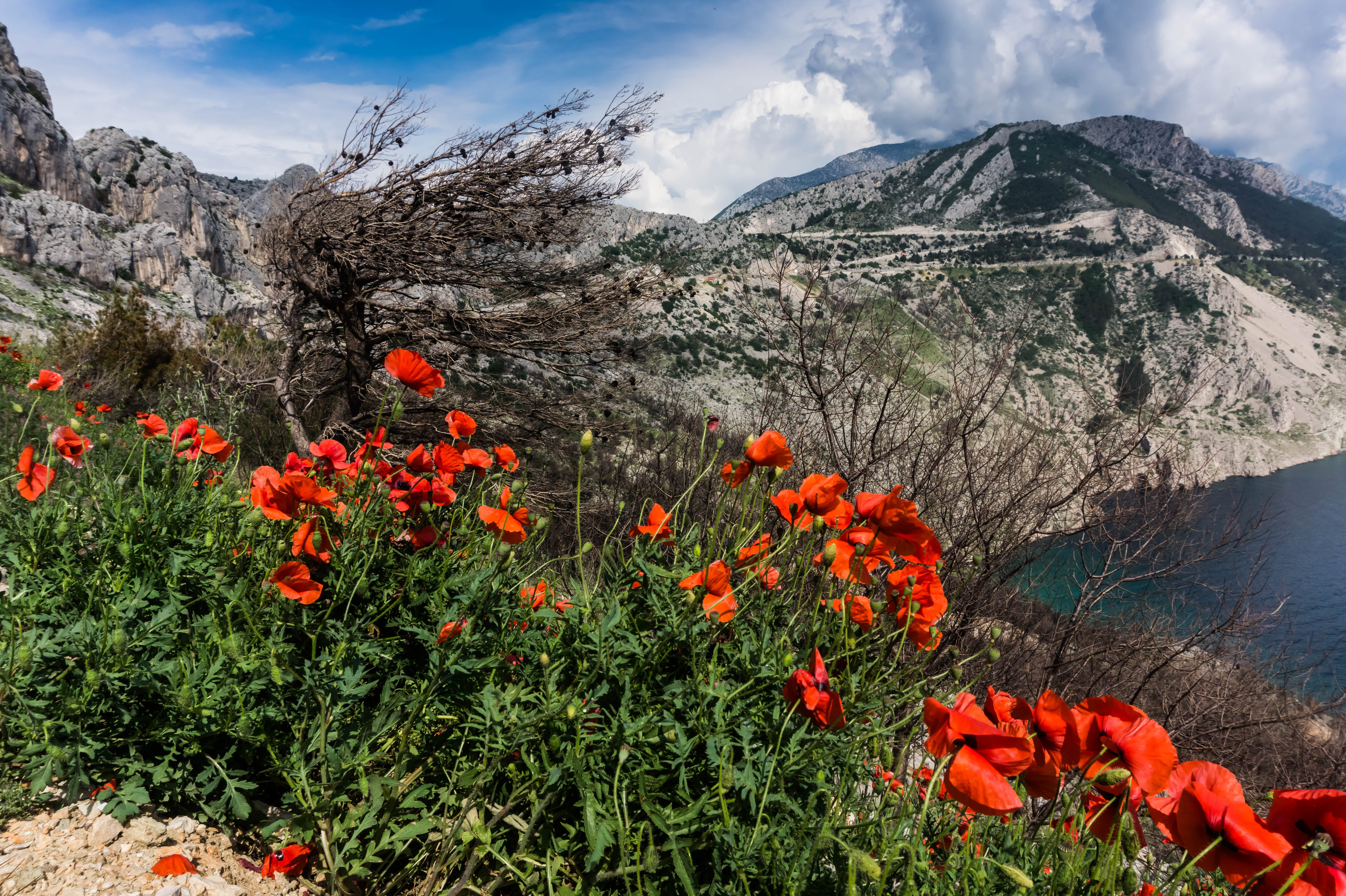 Red Poppies Beside a Body of Water Under Blue and White Cloudy Sky