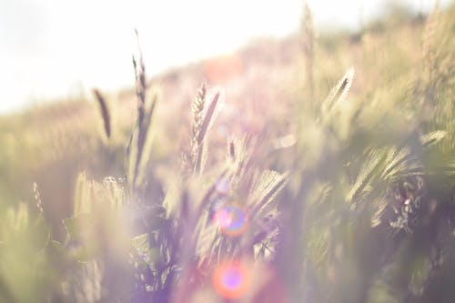 Ảnh lưu trữ miễn phí về cỏ lúa mì, Tia nắng mặt trời, đã bị mờ