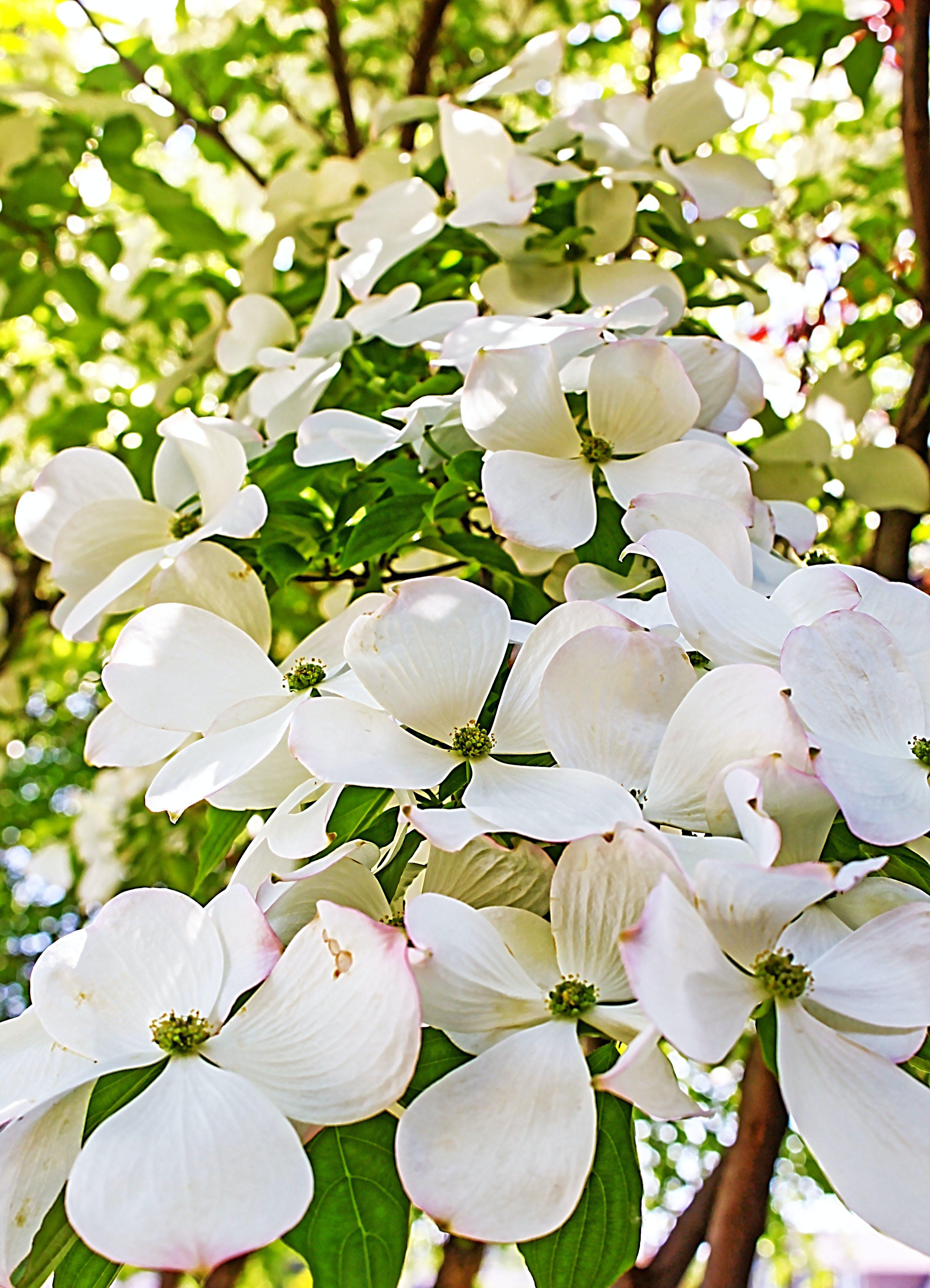 Free stock photo of dogwood, flowers, spring
