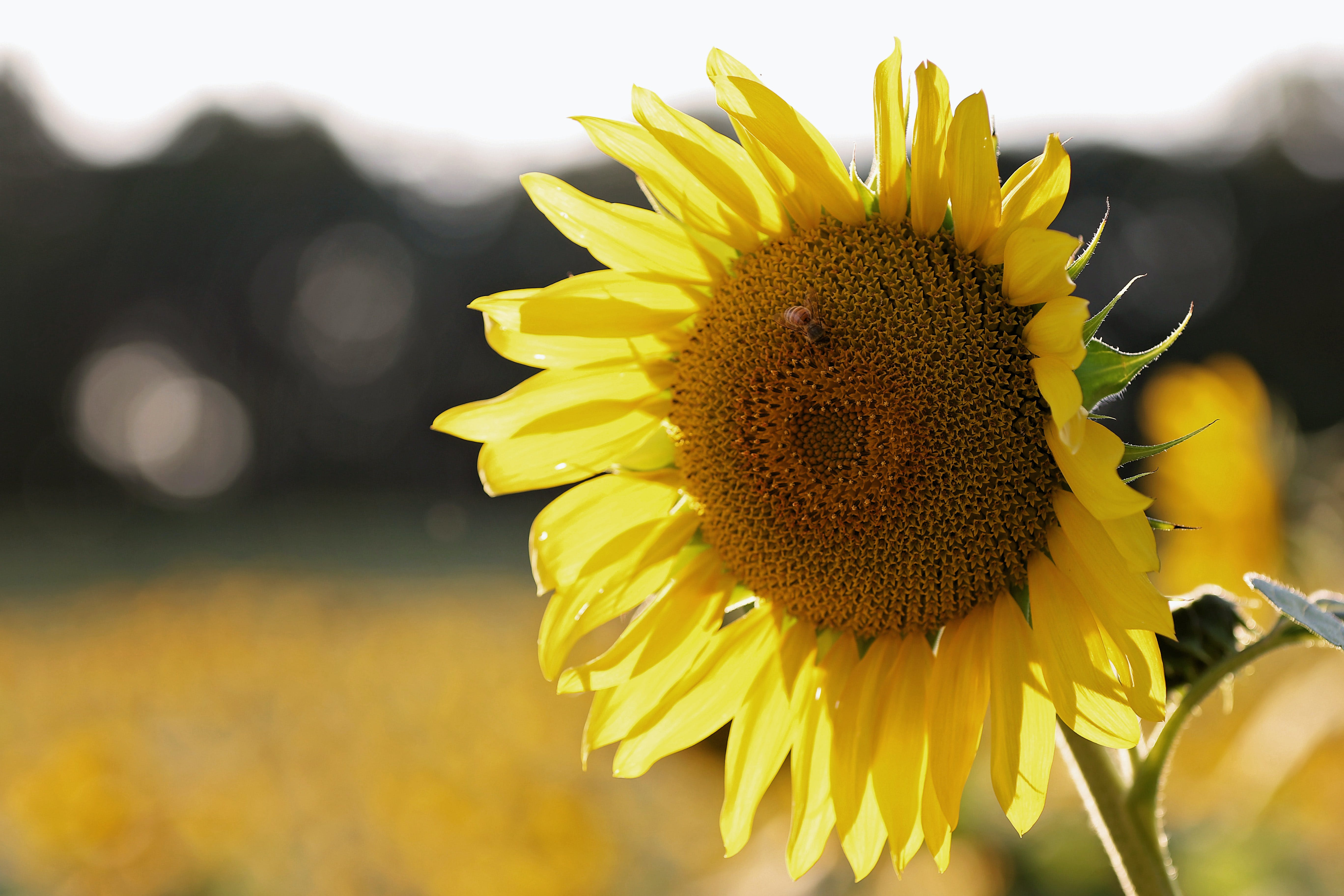 Shallow Focus Photography of Sunflower With Bee