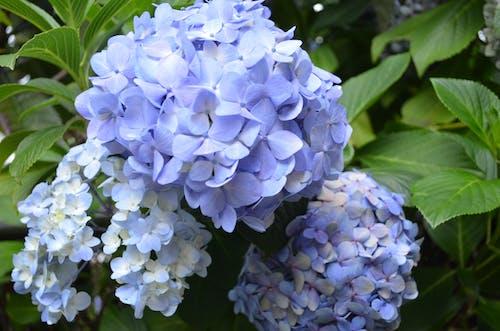 Free stock photo of beautiful flowers, blue flowers, botanical garden