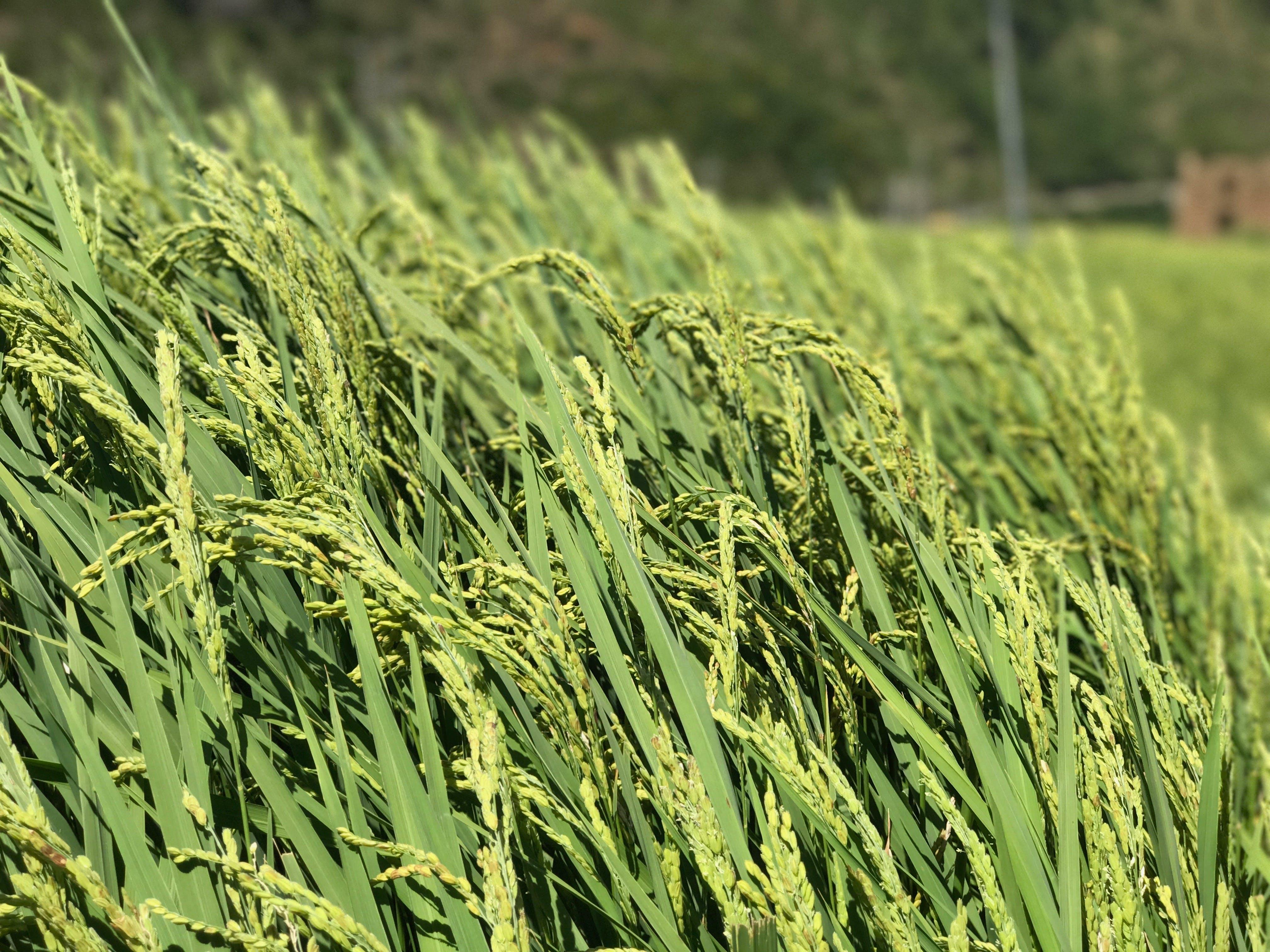 Free stock photo of Bhutan, blade of grass, grass, grass field