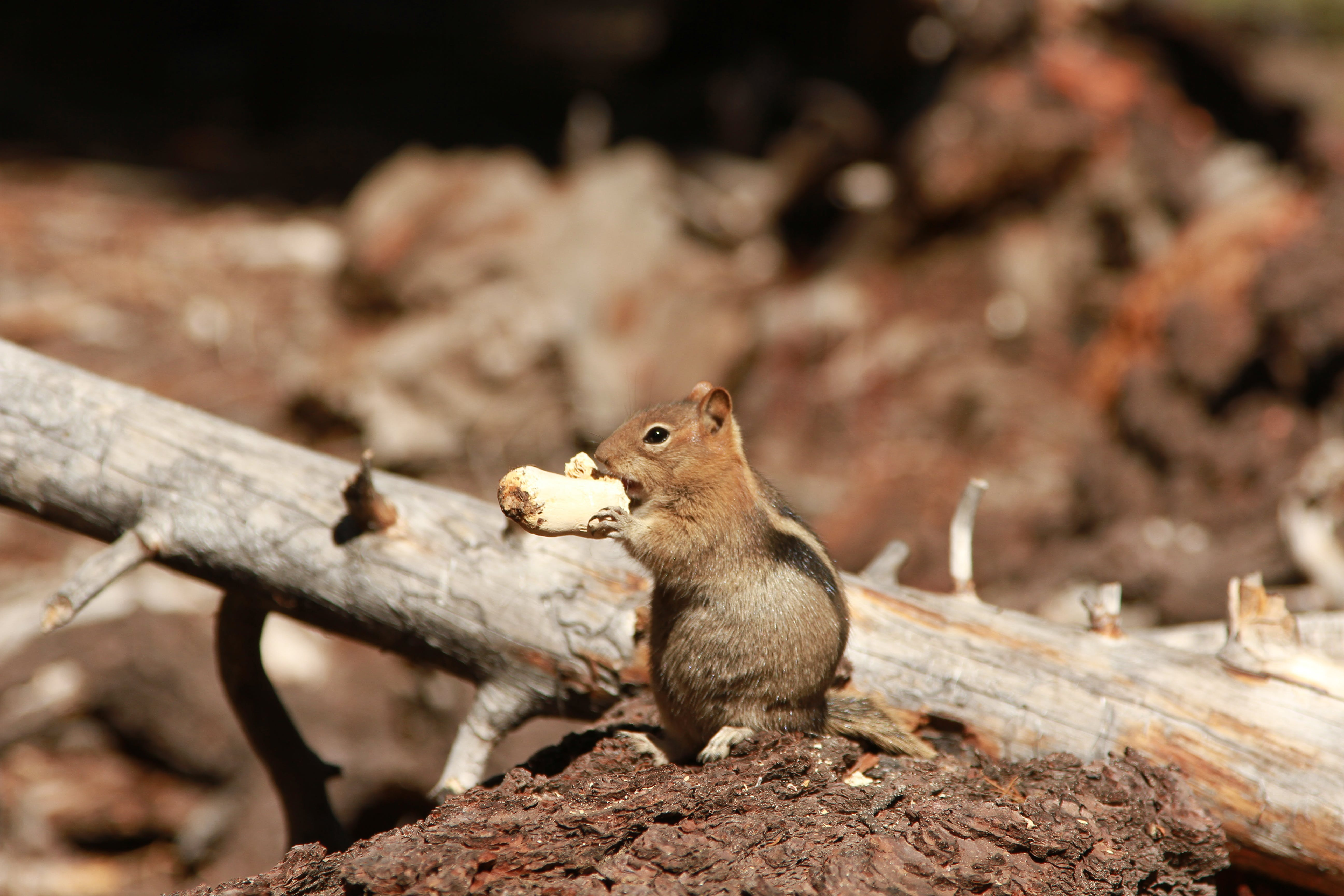 Shallow Focus Photography of Chipmunk