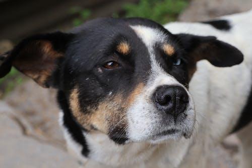 Free stock photo of blue eyes, brown eyes, dog