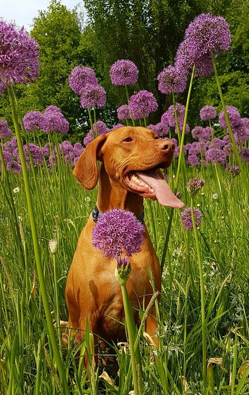 Tan Dog Sits on Flower Field at Daytime