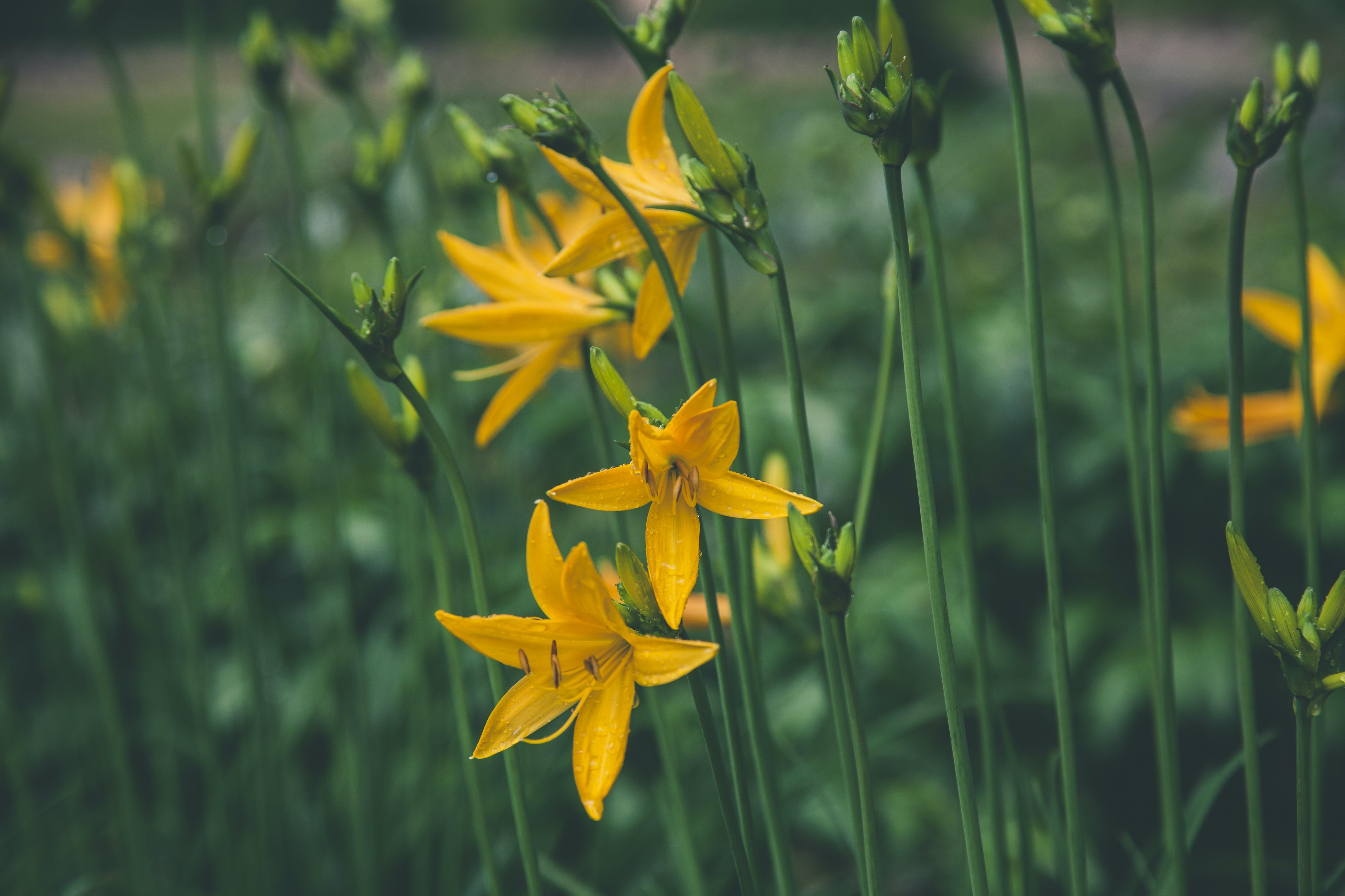 Selective Focus Photo Ofyellow Lilies