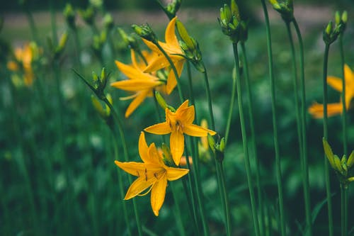 Selective Focus Photo Ofyellow Lilies