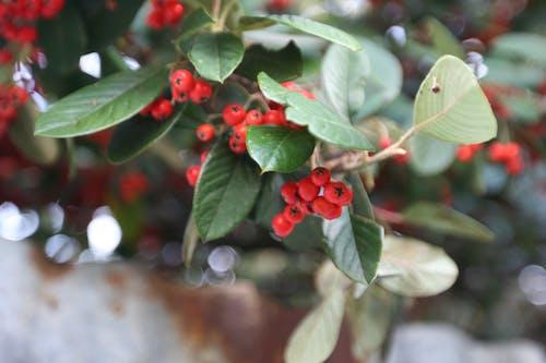 ベリー, 有毒, 有毒な果実, 緑の無料の写真素材