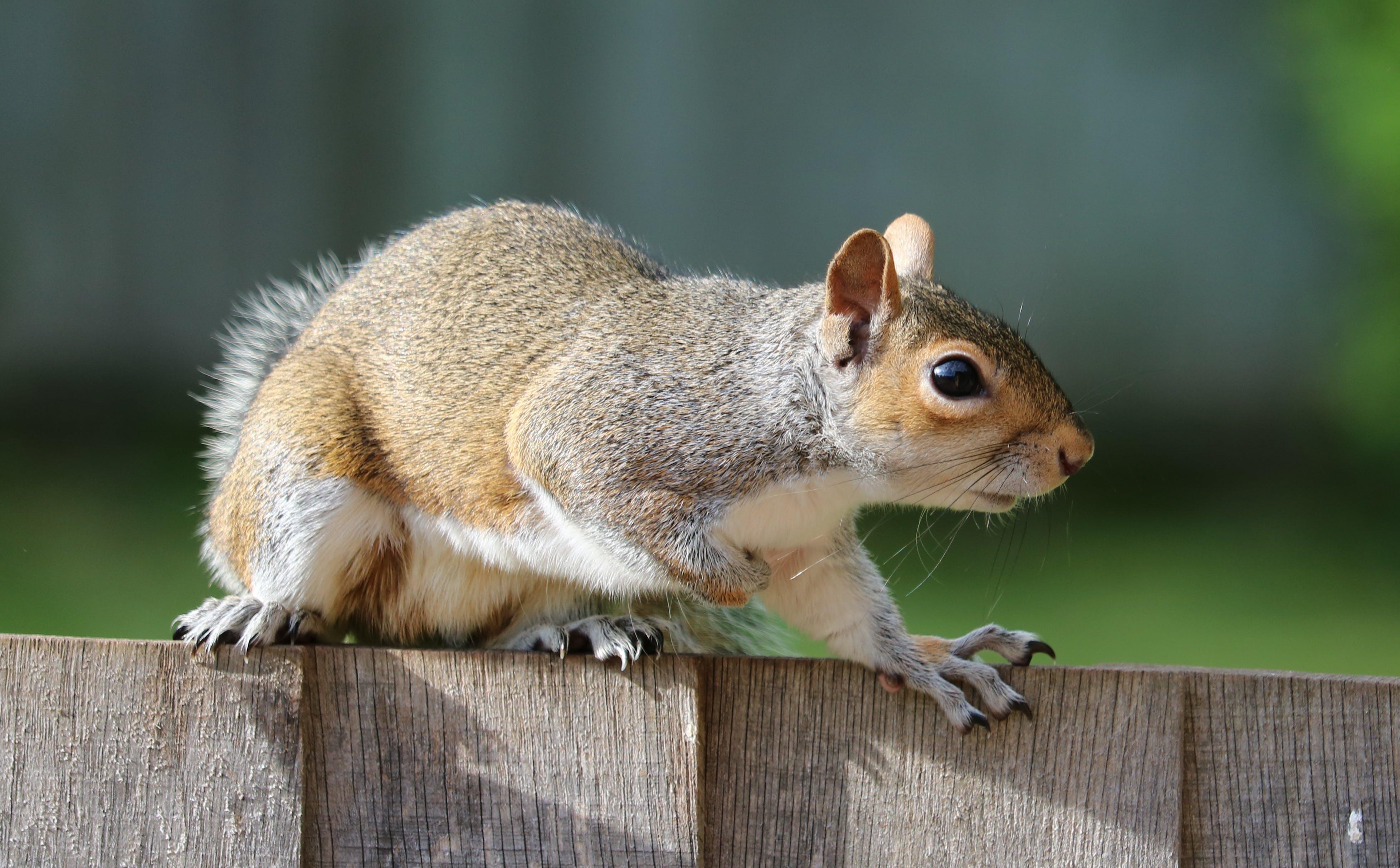 eichhörnchen, makro, nagetier
