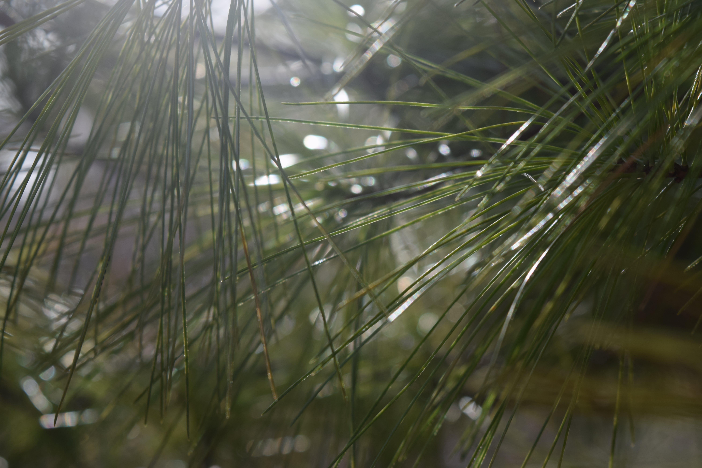 Gratis lagerfoto af grannåle, lys refleksioner, skær fra solen, træer