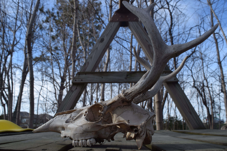 Základová fotografie zdarma na téma jelen, jelení lebka, kosti, lebka