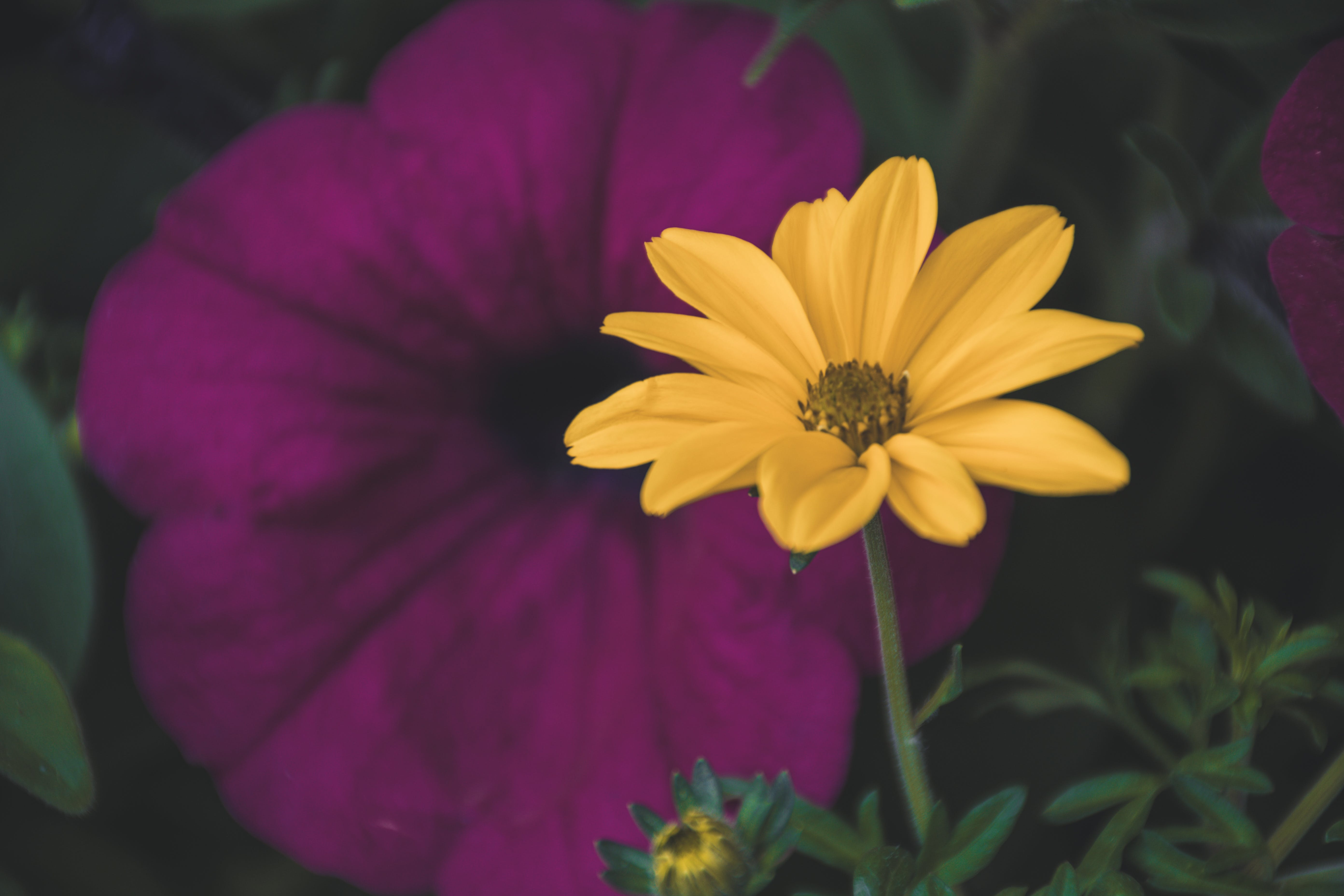 Selective Focus Photography Of Yellow Daisy Flower