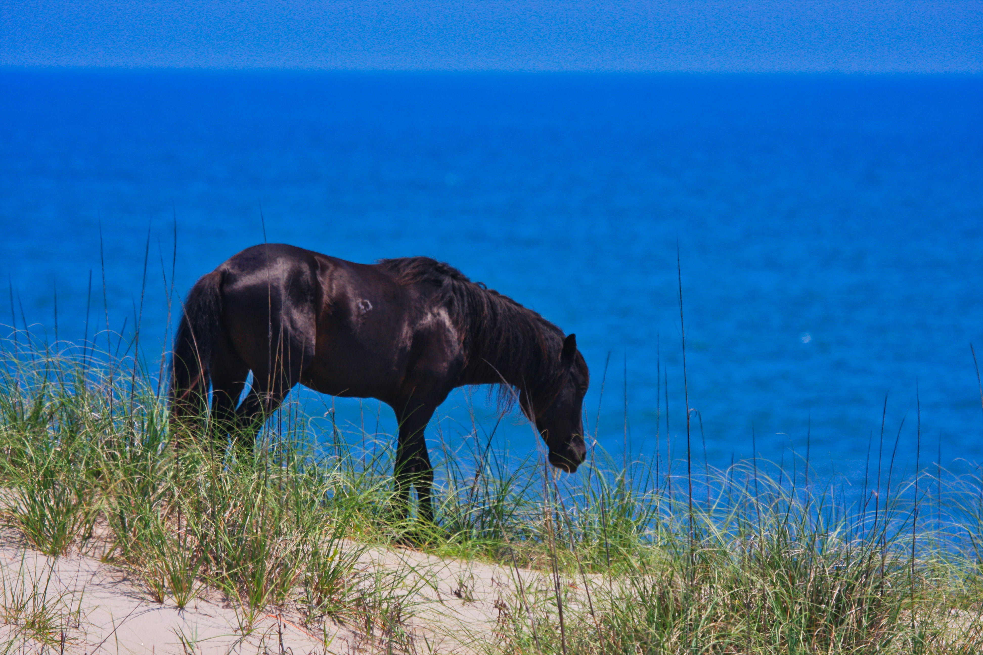 Free stock photo of corolla, obx, wild horse, wild horses