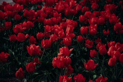 Бесплатное стоковое фото с весенние цветы, заводы, тюльпаны, флора