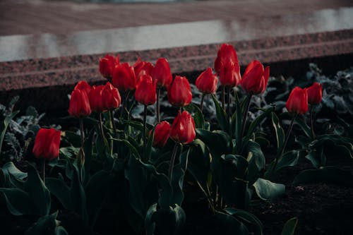 Bed Of Red Tulip Flowers