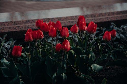 Бесплатное стоковое фото с заводы, красные тюльпаны, красные цветы, лепестки
