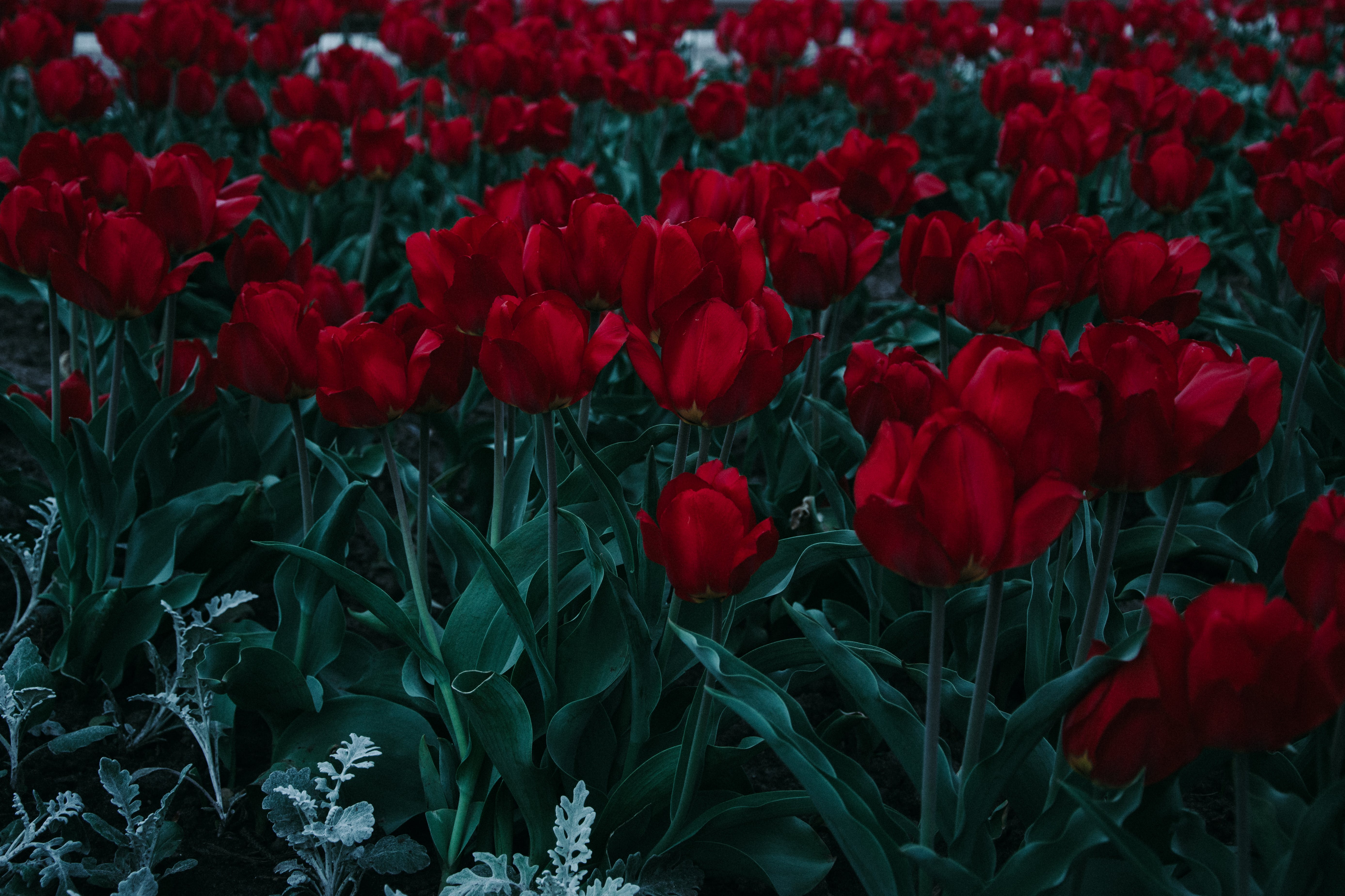 Bed Of Red Tulips