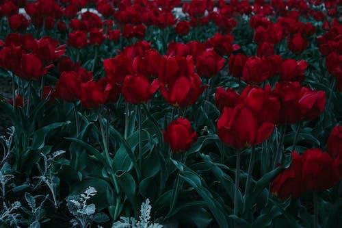 Foto d'estoc gratuïta de flora, flors, flors vermelles, pètals
