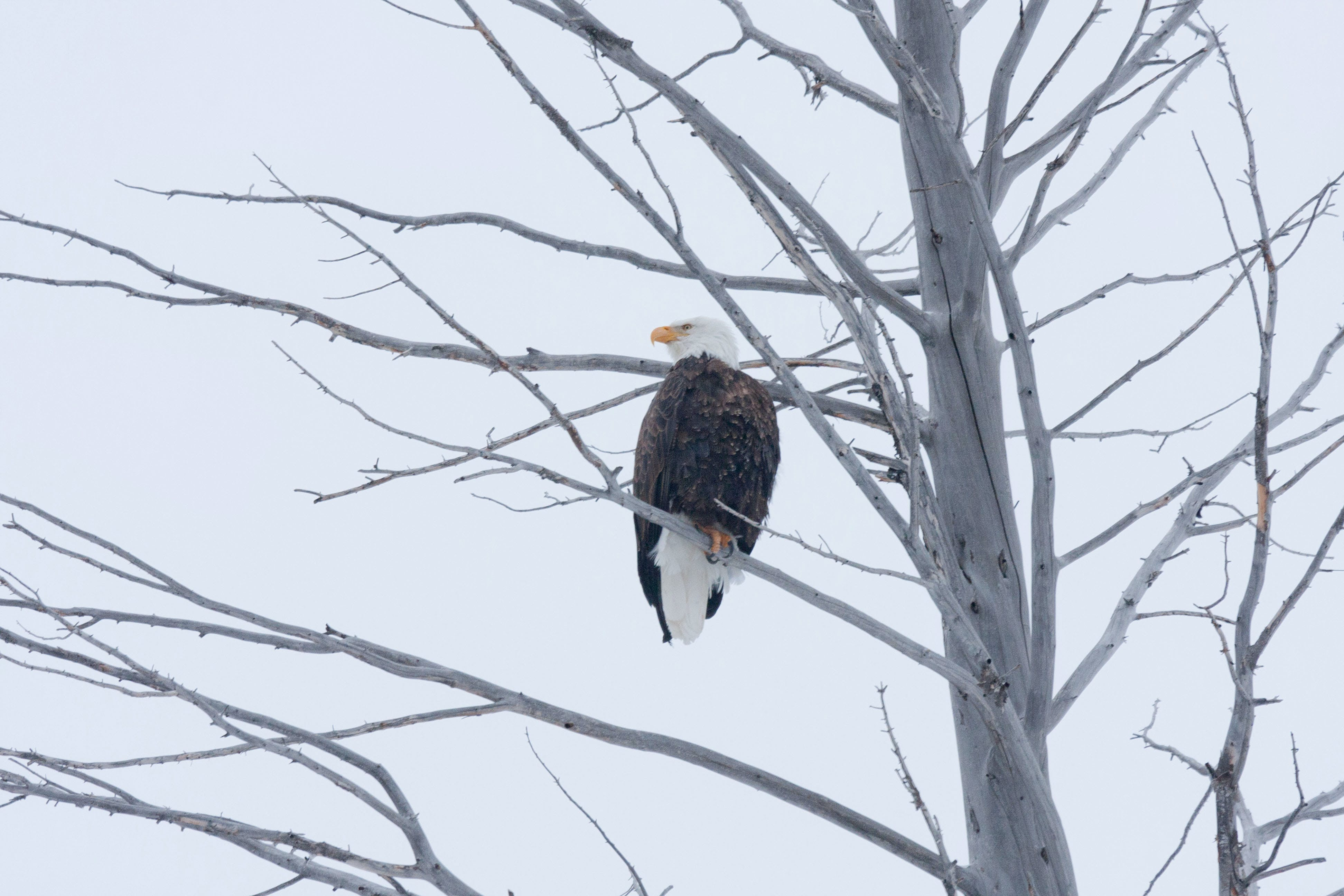 Free stock photo of bald eagle, eagle, eagle in tree