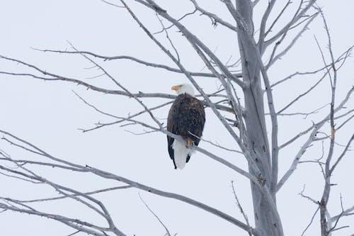 树中的老鹰, 禿鷹, 老鷹 的 免费素材照片