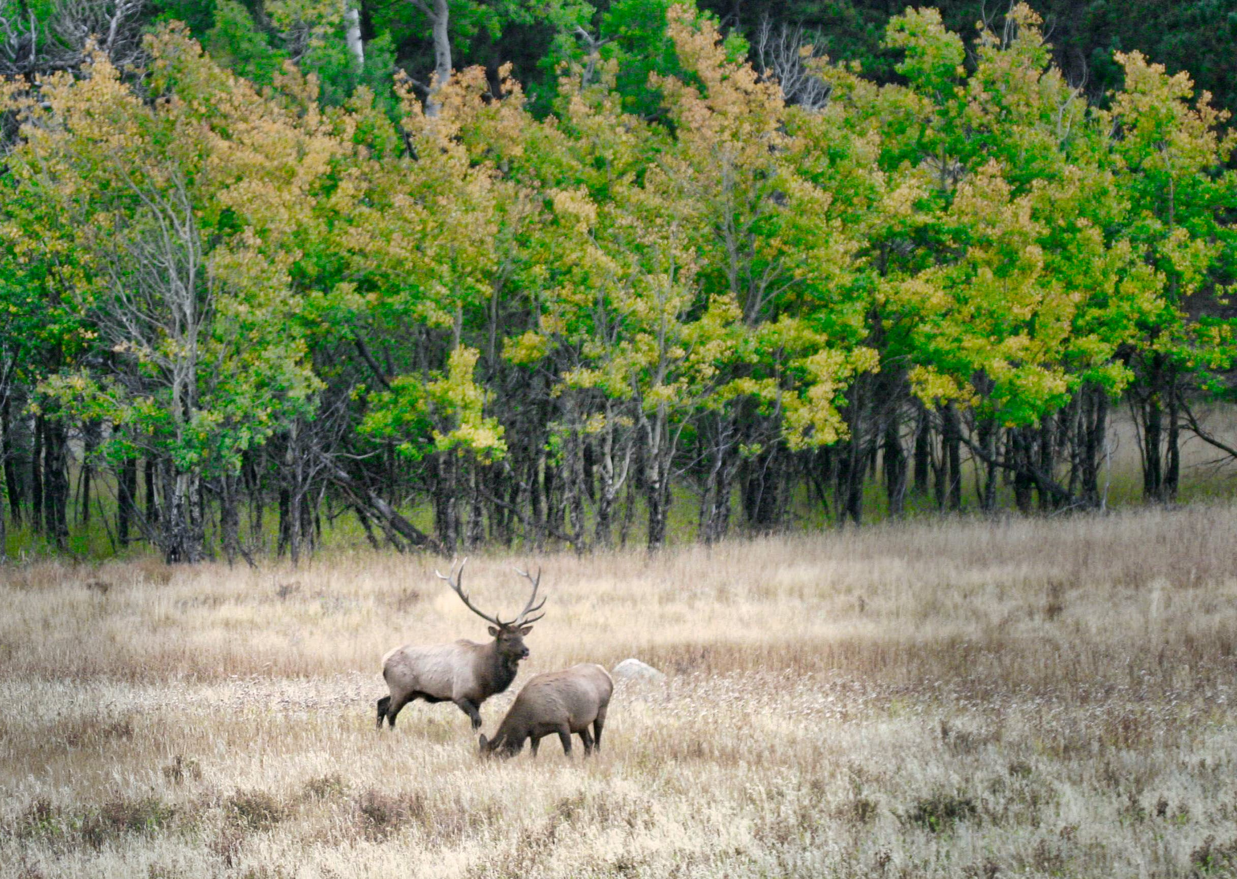 Free stock photo of elk, elk fall, Estes park elk herd, fall