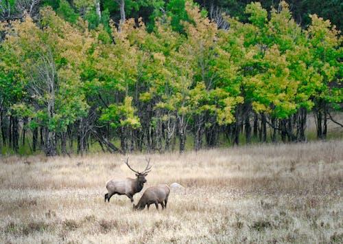 埃斯蒂斯公园麋鹿群, 麋鹿, 麋鹿秋天 的 免费素材照片