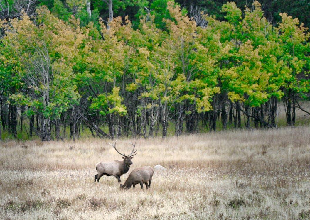 埃斯蒂斯公园麋鹿群, 麋鹿, 麋鹿秋天