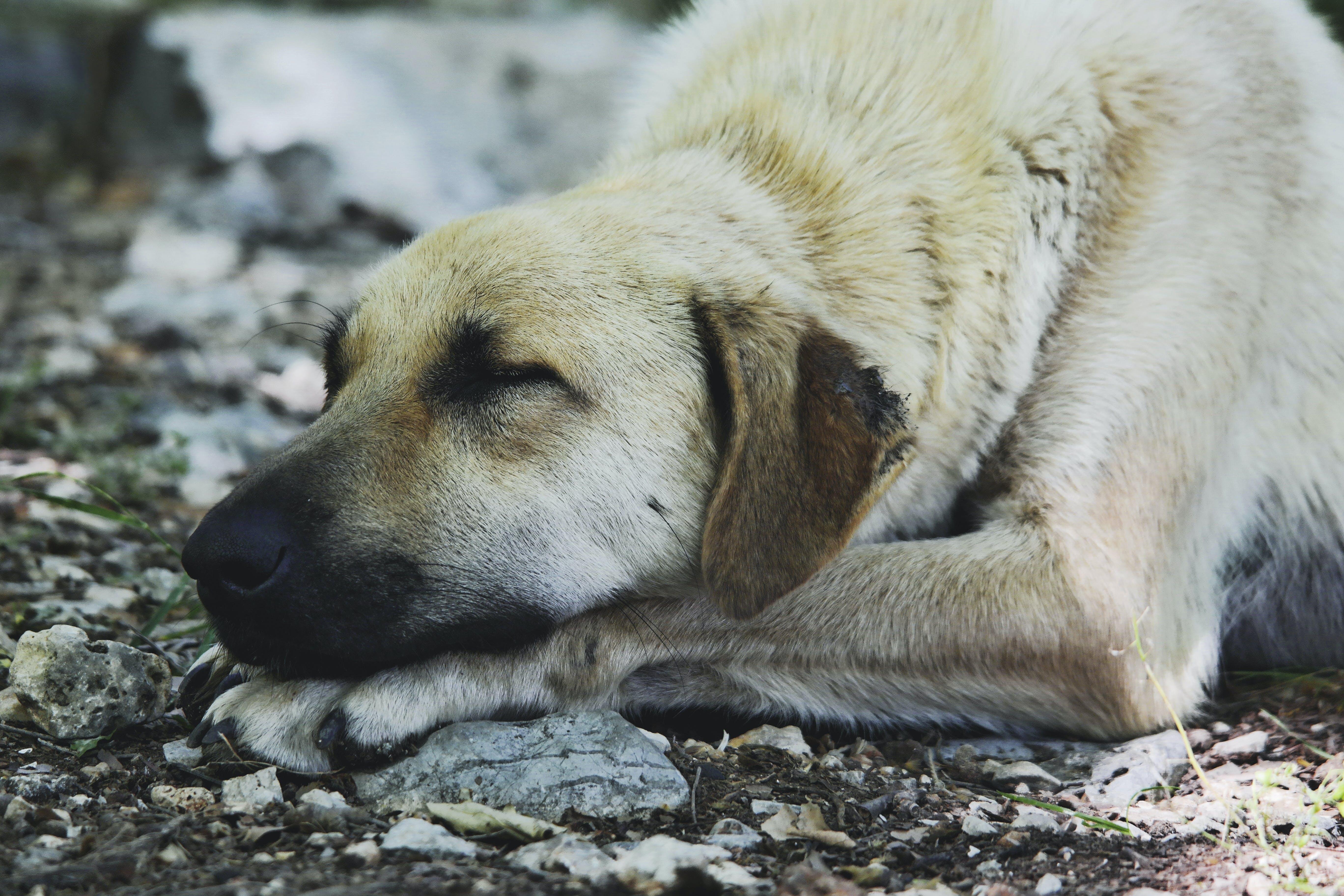 Tan Short Coat Dog