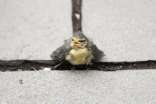 不快樂, 小雞, 小鸡 的 免费素材图片
