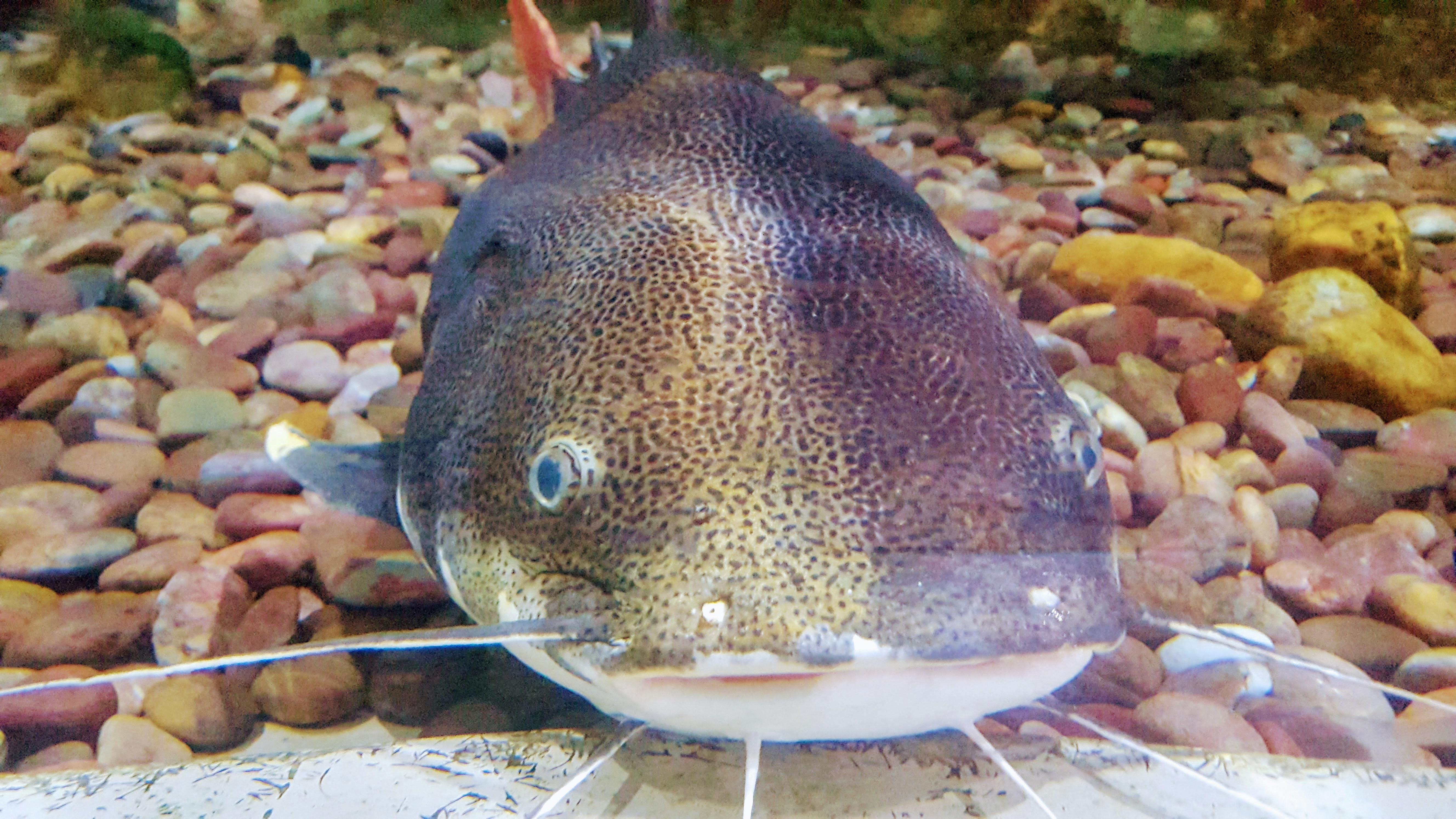 Free Stock Photo Of Aquarium Fish Video Boneless Fish Biryani Cat Fish