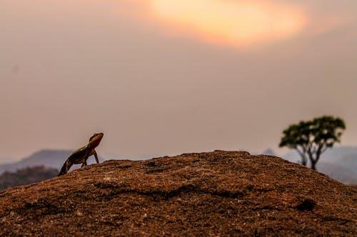 Brown Gecko in Brown Soil