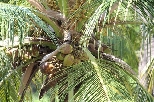 Free stock photo of coconut, coconut groove, coconut leaves