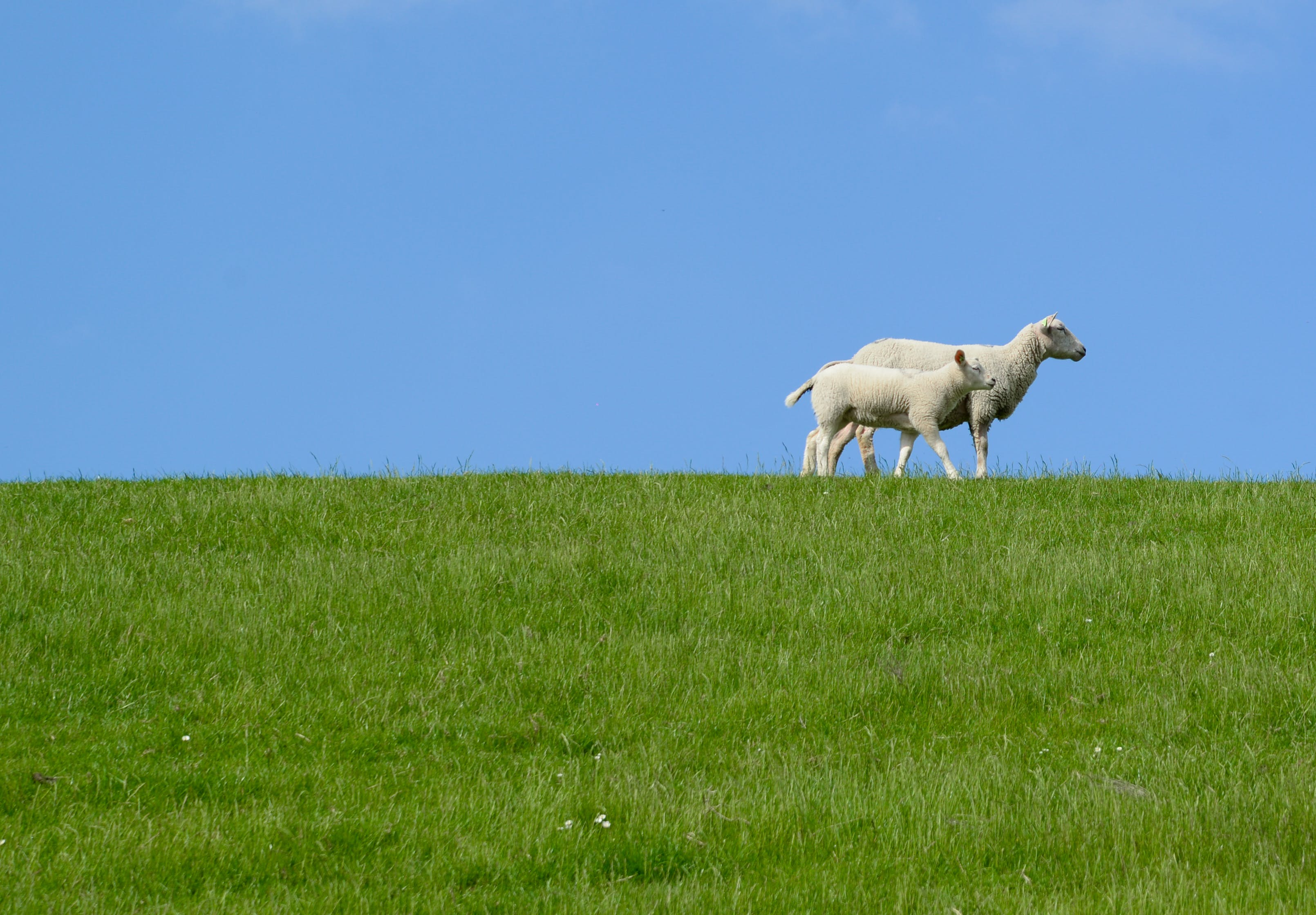 Two White Sheep on Grass Field