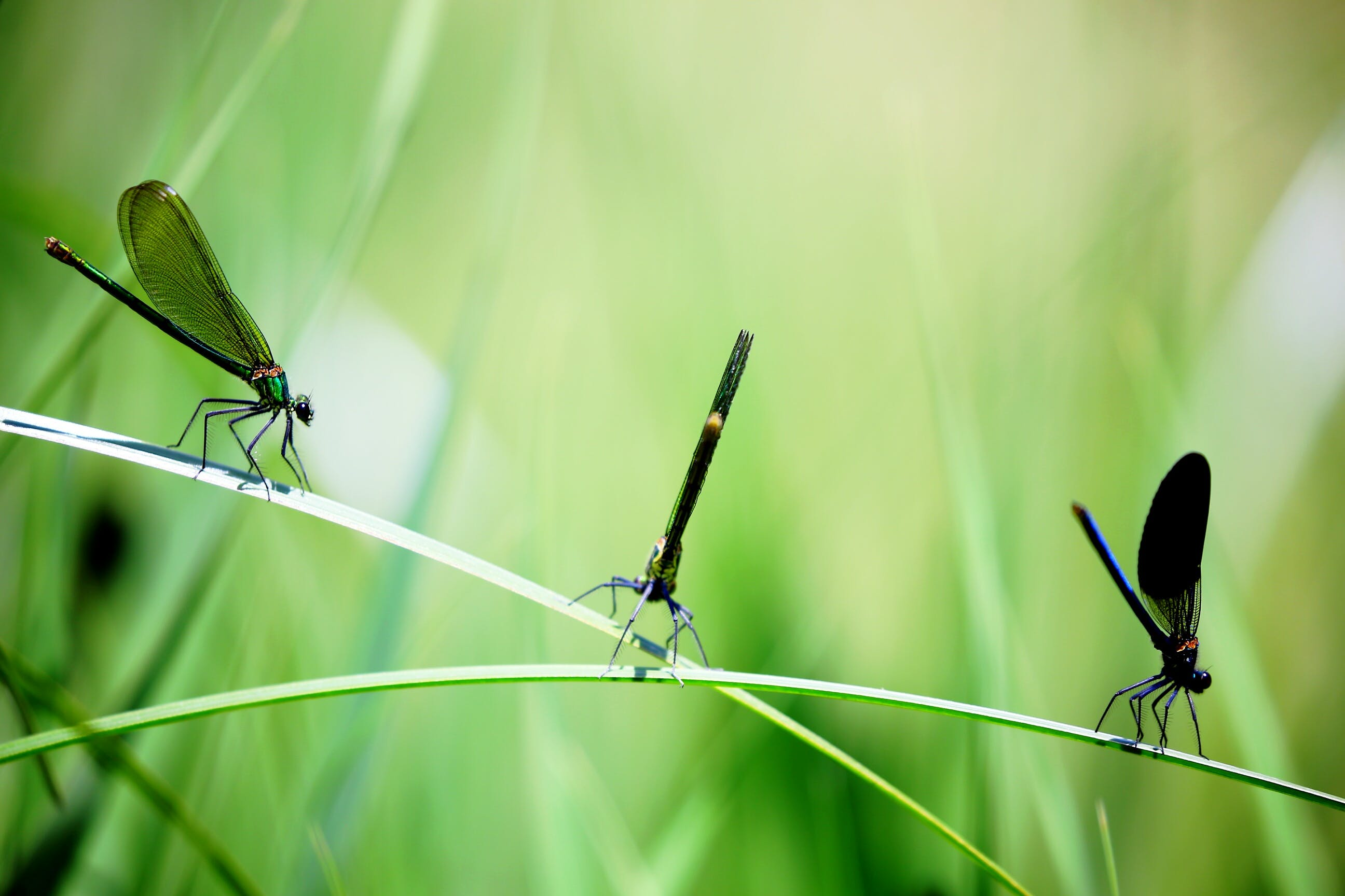 3 Dragon Flies on the Grass