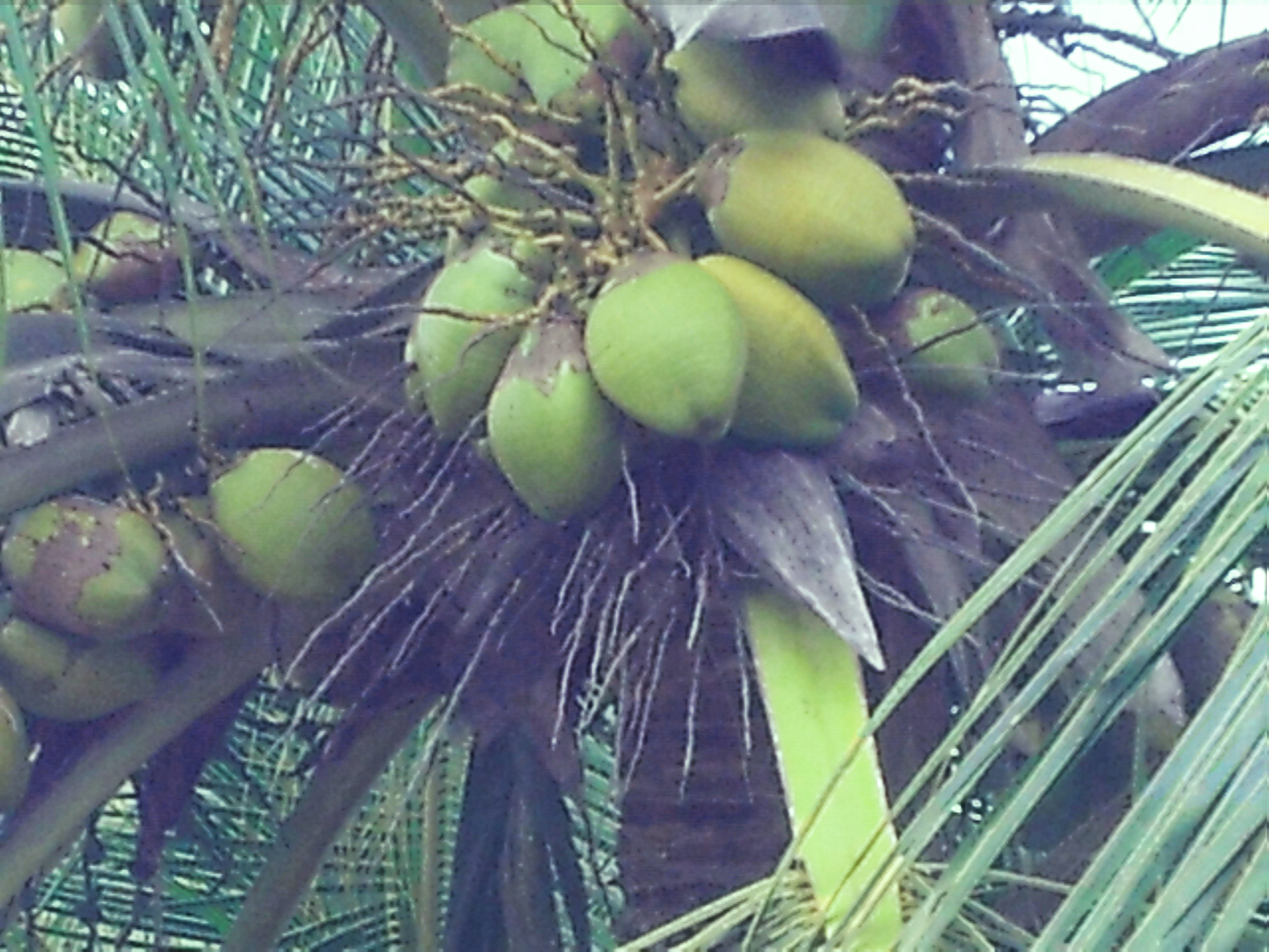 Free stock photo of coconut tree, coconuts, cocunet