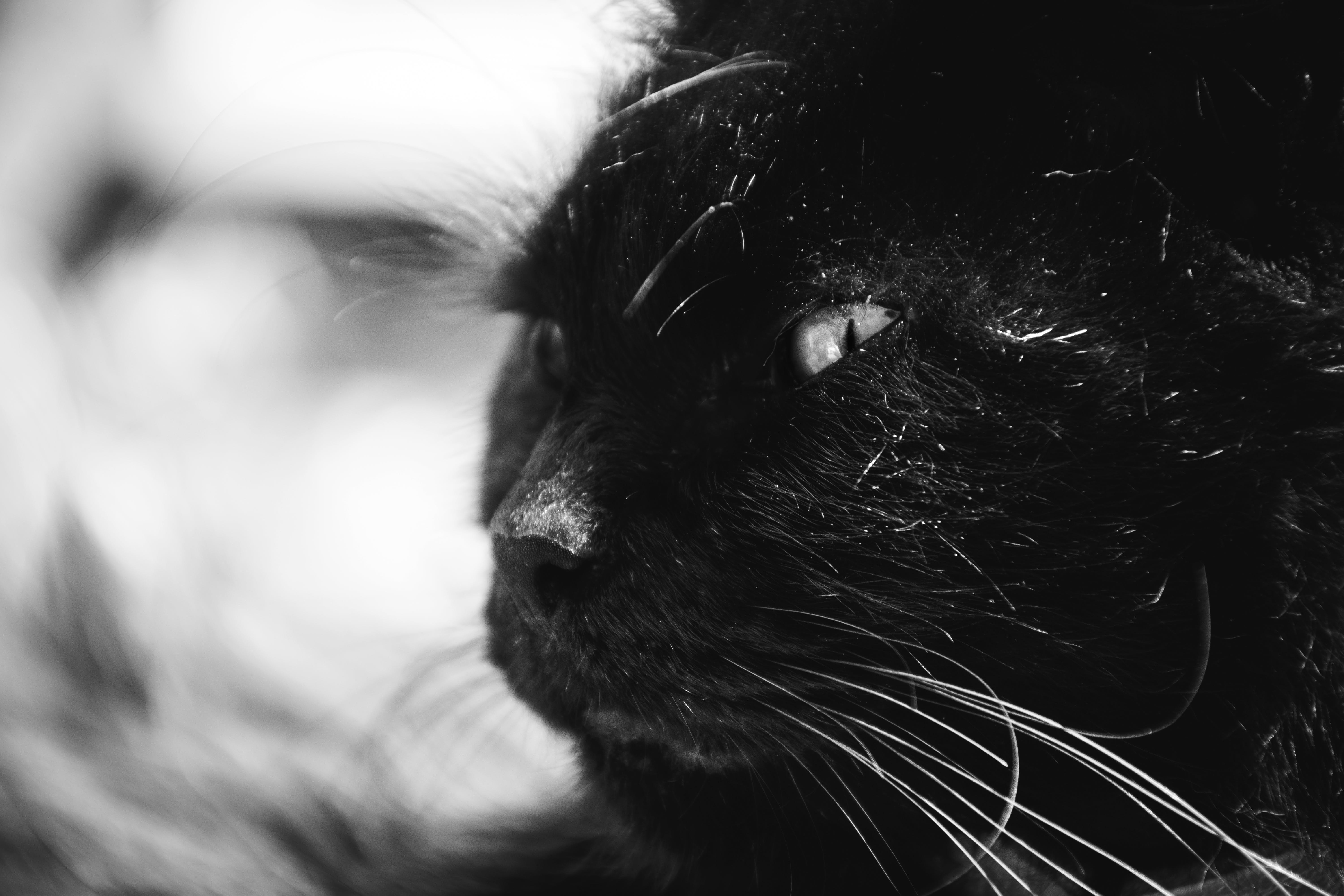 Black Long Coat Cat Grayscale Photography