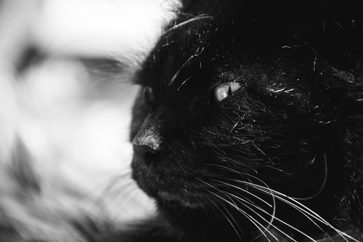 Black Long Coat Cat Grayscale Photography