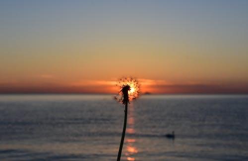 Free stock photo of Baltic Sea, dandelion, dandelion seed, dawn